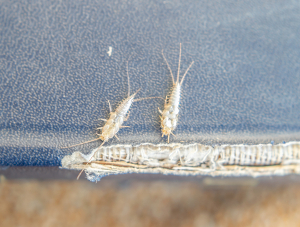 silverfish chewing on a book