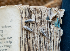 silverfish eating an old book